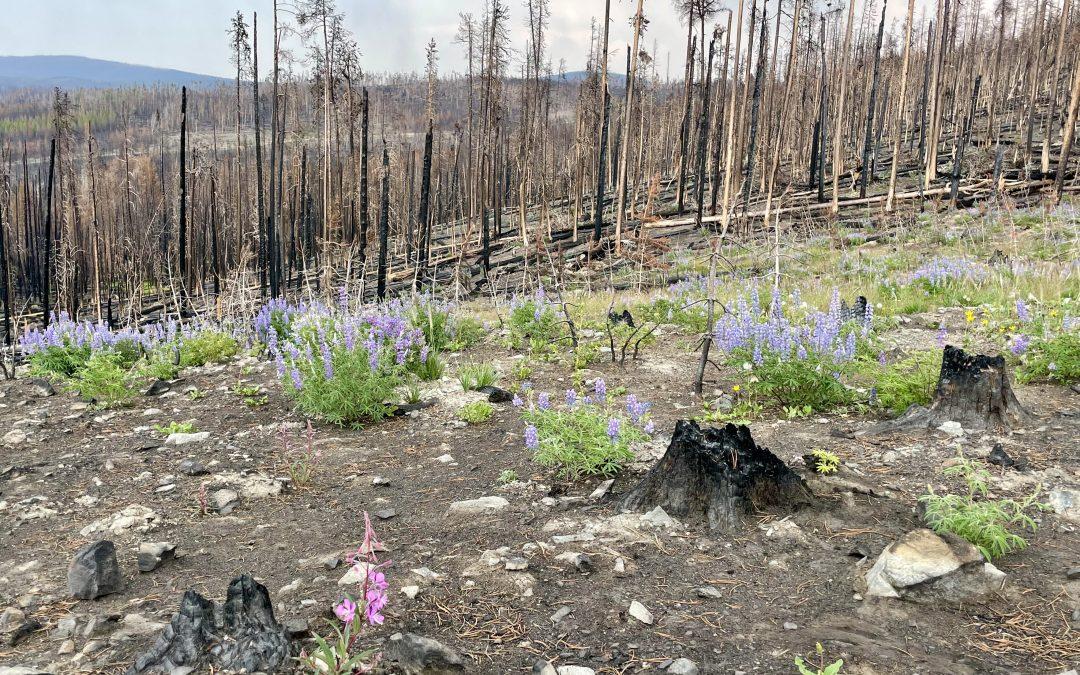 Wildflowers among charred trees