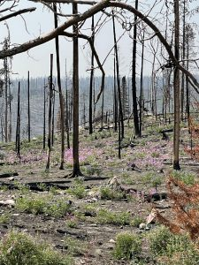 Pink flowers among charred trees